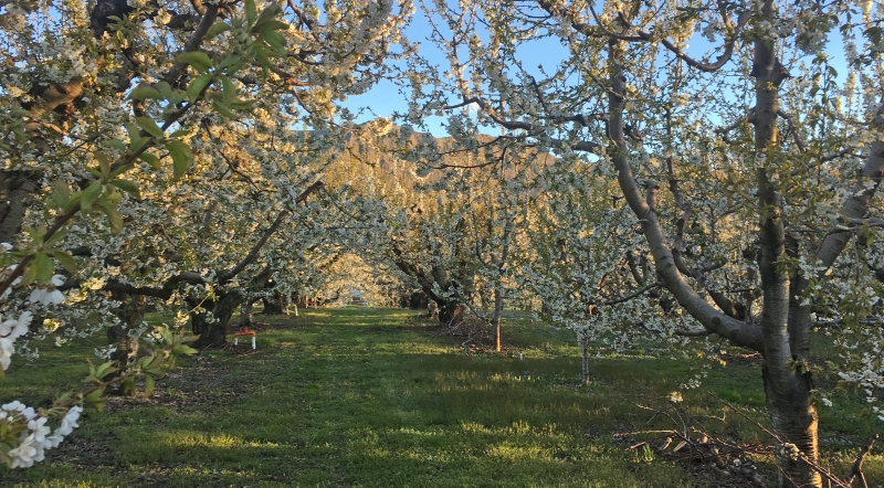 Spring orchard in bloom