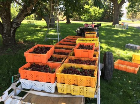 Picking cherries in the orchard at Columbia Cove near Wenatchee
